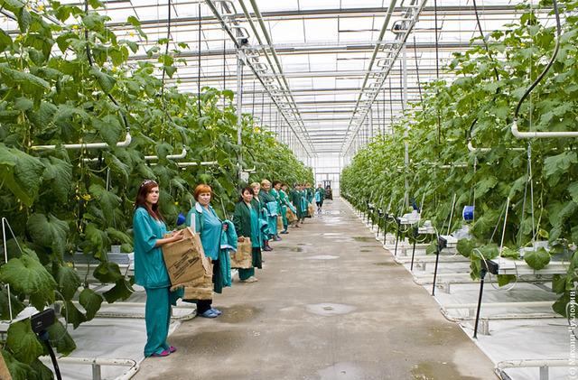 Выращивание овощей на предприятии 835